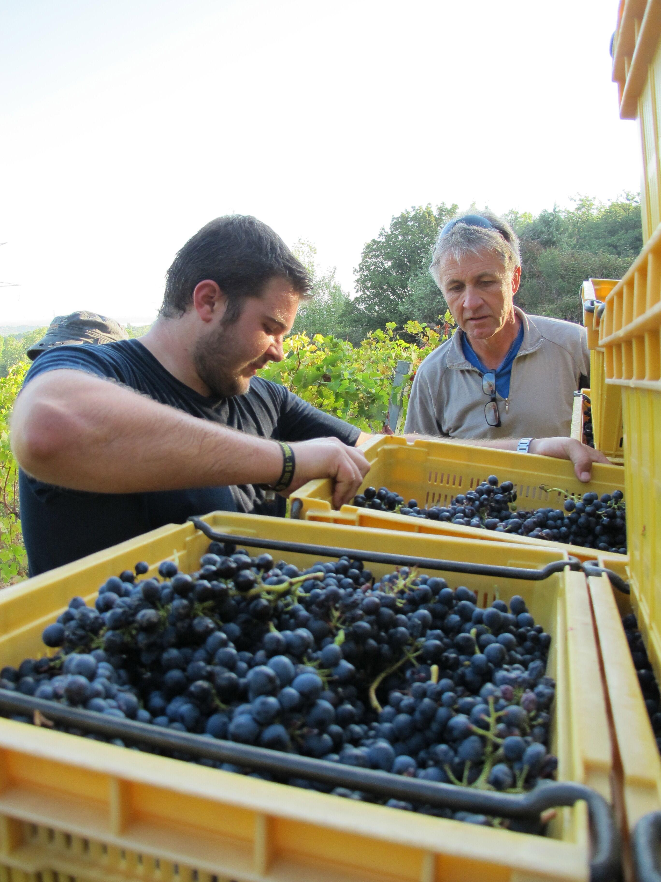 Sortering av druvor hos ekologiska Domaine Duseigneur