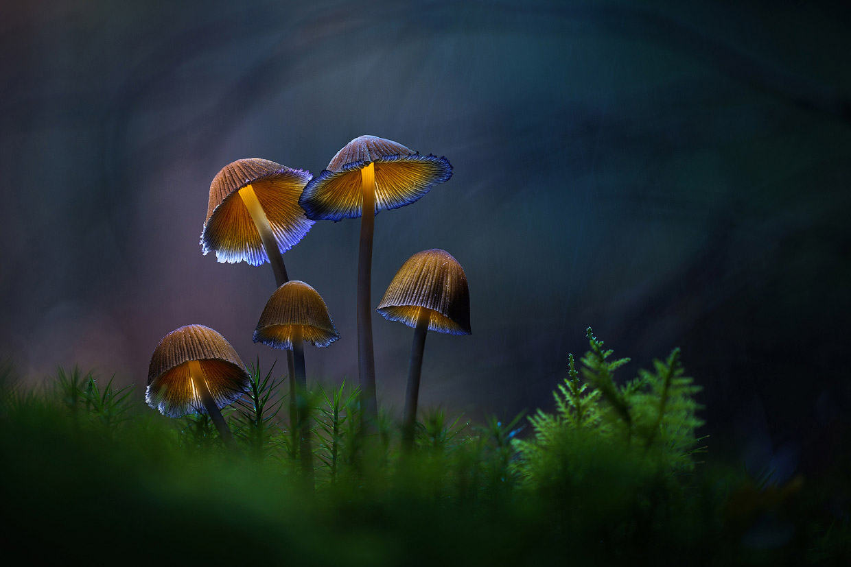 Glowing mushrooms dreamlike fairytale macro photography by martin pfister 06