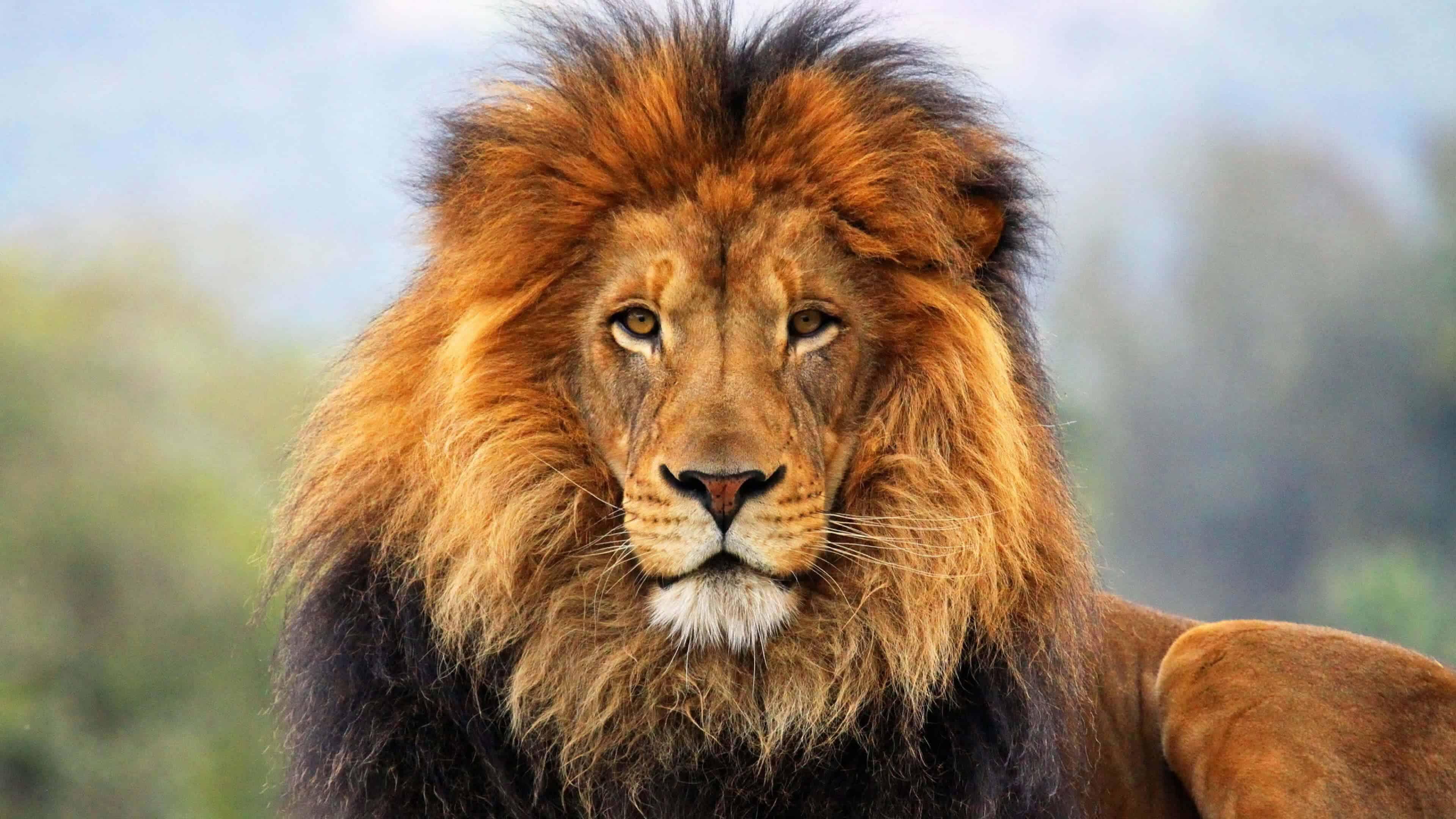 male-lion-big-cat-sanctuary-uhd-4k-wallpaper