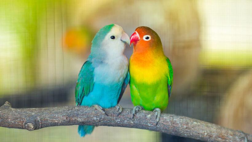 Lovebirds-940x529
