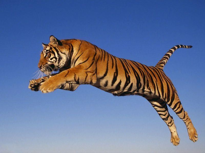 En tiger på språng