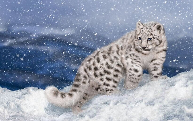 Big_cats_Snow_leopards_453907