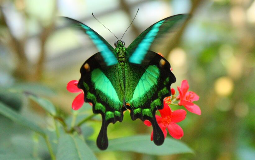 Papilio_palinurus-Emerald Swallowtail-_most -beautiful-butterfly-insect-animal-1