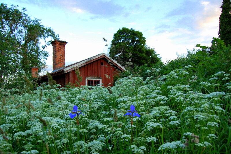 Här är det sommarnatt och kuskens bostad sticker upp bakom ett hav av blommande kers. Två klarblå irisar lyser mitt i allt det vita. Tänk, snart är det sommar igen!