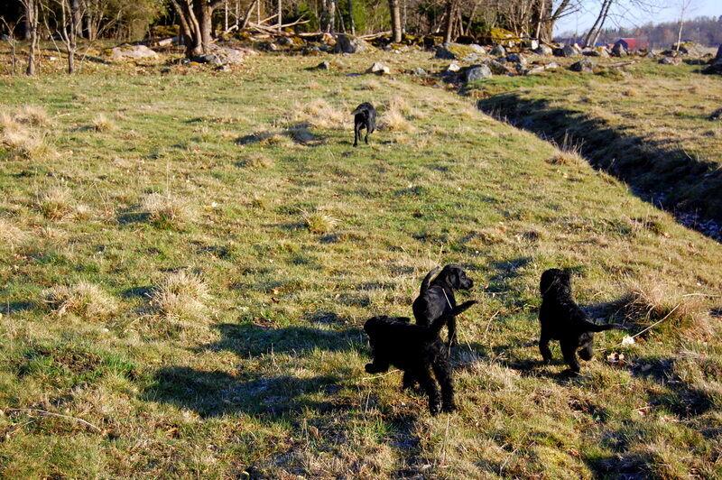 Bästa starten på dagen är en promenad i solen i sällskap av glada valpar!