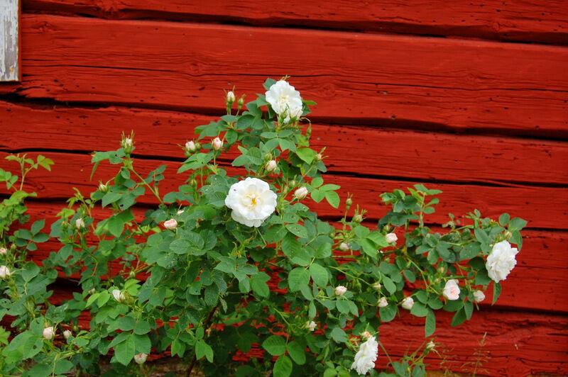 Den här rosen och några till likadana växer framför småstugorna och jag har bilder på dem från 1930-talet. De verkar klara sig utmärkt utan någon speciell tillsyn och doftar helt underbart.