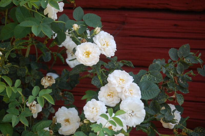 En mer underbar rosdoft går inte att föreställa sig. Och så tåliga dessa gamla rosor är! De har knappt fått någon vård alls under massor av år.