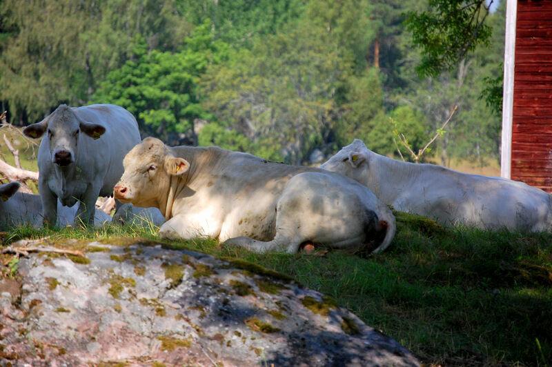 Idag har varit ännu en härligt varm dag. För ovanlighetens skull så har alla kossorna spenderat hela dagen i skuggan framför prästens gamla stall. Tjuren Ivore ser lite trött ut.