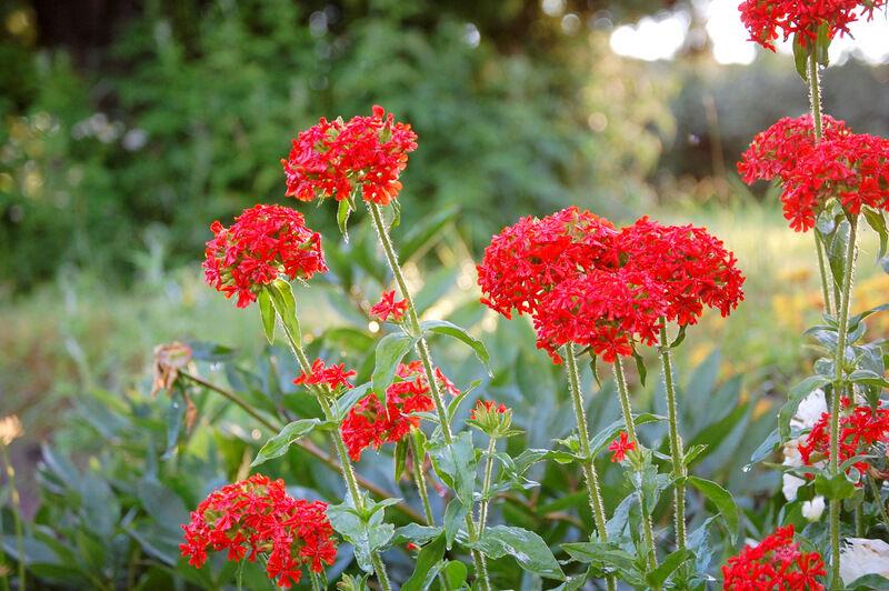 Studentnejlikorna blommar intensivt rött. Jag hoppas ni läsare också haft en fin dag!