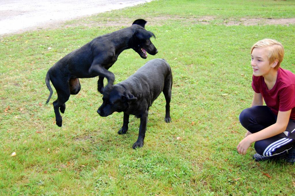 Självklart är min labrador med i stallet. Men vem är den där smala hunden som skuttar över Tosie? Det är knappt så mor Tosie känner igen sin dotter.