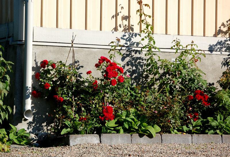 Mest nöjd och tacksam är jag ändå över rosorna, som fortsätter att blomma och är fulla av knoppar, trots att jag ignorerat dem ett tag nu.