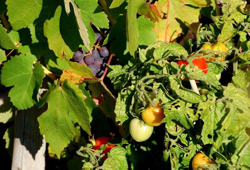 Tomater och vindruvor mognar intill varandra i min lilla zengarden.