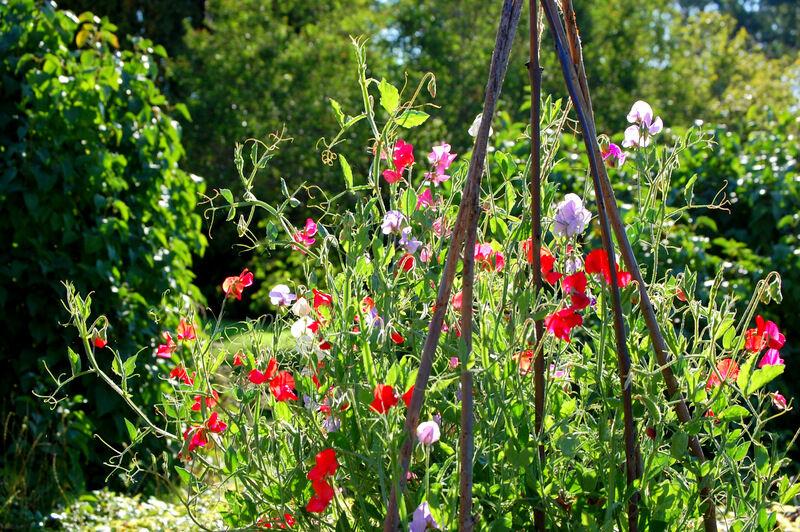 De ljuvliga luktärtorna blommar och trivs och brukar fortsätta att göra så långt in på senhösten.