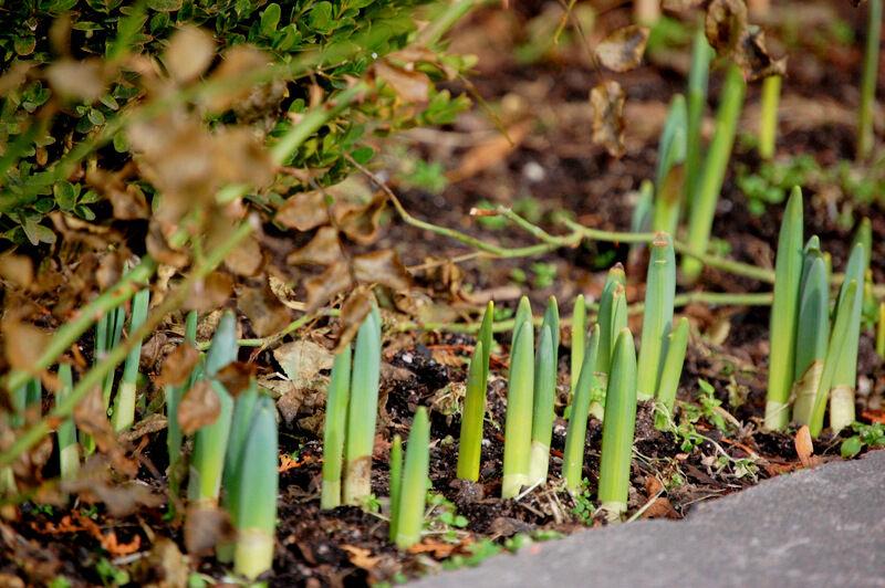 Även påskliljorna står och väntar på solen.