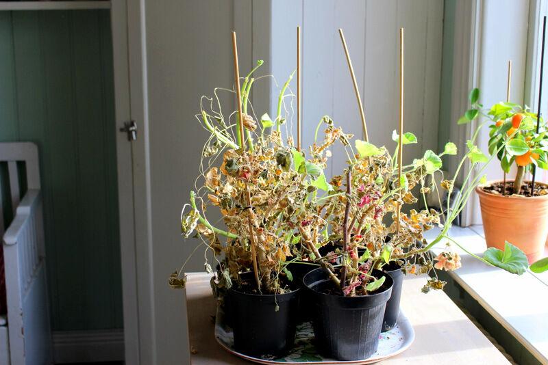 Våren är här och pelargonerna har fått komma upp ur det kalla källarförrådet. Stackarna har bara fått vatten tre-fyra gånger under vintern.  Pelargoner behöver inte vintervila, men det är svårt att hålla dem blommande under den mörka vintern.