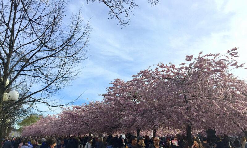 Passade på att njuta av ett blommande Stockholm. Kungsträdgårdens fantastiska körsbärsblom!