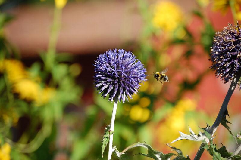 Bolltisteln blommar och är populär bland humlor och bin. I år har det varken varit störande myggor, flugor eller otäcka bromsar på prästgården. Så skönt!