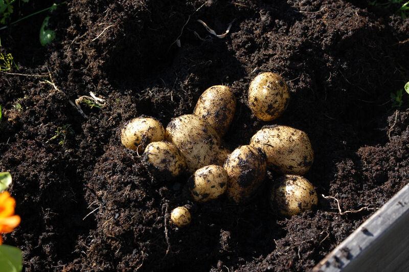 Premiär för mig att odla egen potatis. Jättekul att hitta ett gäng perfekta knölar gömda i jorden.