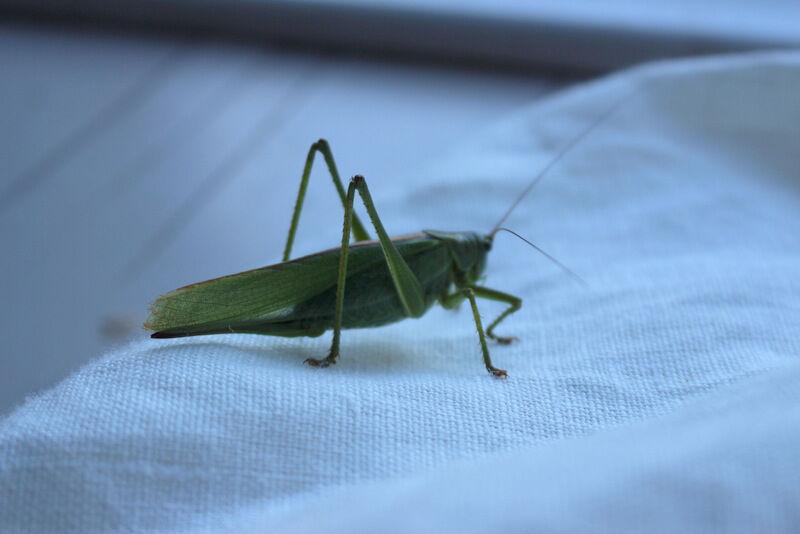 Däremot är det gott om stora, gröna syrsor som den här som envisas med att hoppa in genom balkongdörren och uppvakta mig med alarmliknade sång på nätterna.