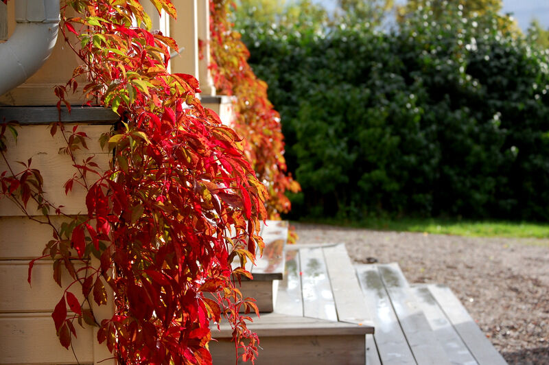 Hösten är onekligen här. Vackra vildvin!