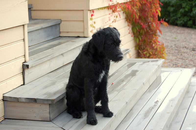 Abby är dotter till min hund Tosie. Hon är en korsning mellan Labrador och Lagotto och har nu hunnit bli en gänglig tonåring på sex månader. Den här veckan har jag haft glädjen att vara dagmamma åt henne.