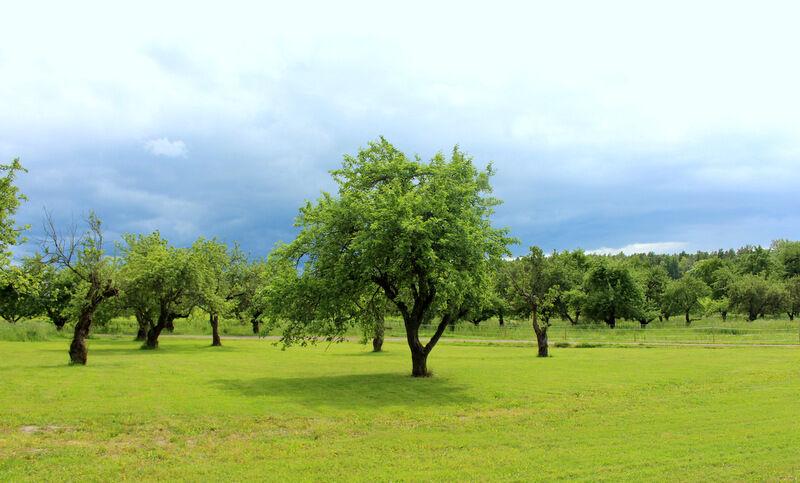 Utanför finns mängder av äppelträd
