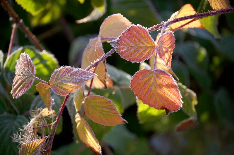 Hallonblad som tinar i morgonsolen