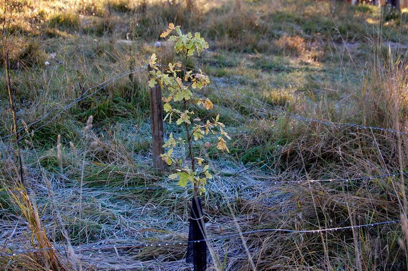 Jag har även planterat en ek och en blodlönn från Stora Sundby, men inte i trädgården utan framför prästens gamla stall. Båda träden har fått varsin liten hage så att kossorna inte ska trampa på dem.