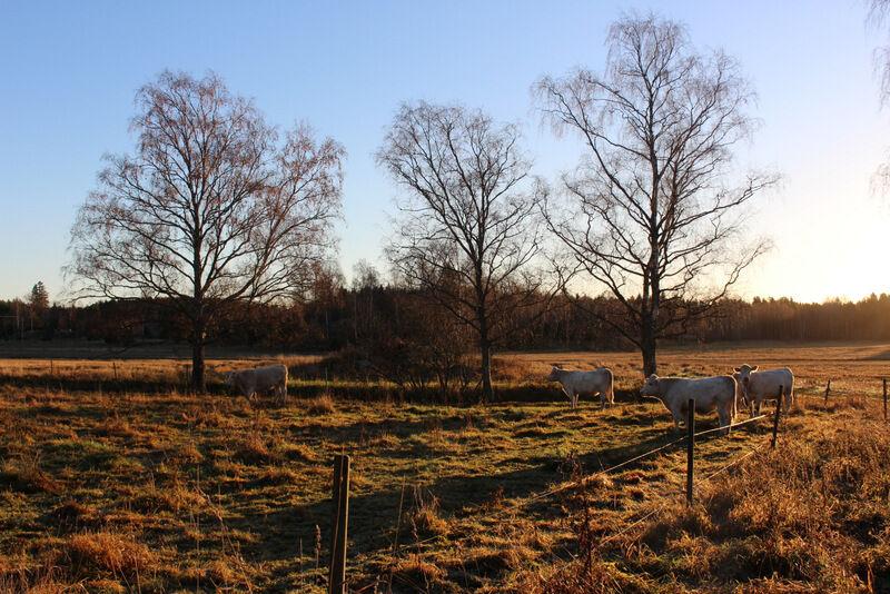 Hemma på prästgården går kossorna fortfarande kvar ute i hagen och de verkar väldigt nöjda med det.