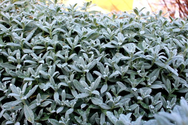 Silverarven blommar bara på försommaren men är fortfarande vacker, med tusen droppar på sina mjuka blad.