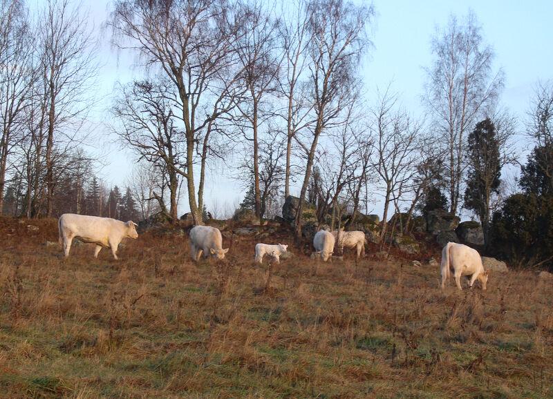 Plötsligt stod där en liten kalv, alldeles vit och nyfödd. Jag tog en bild och skickade till bonden Mattias som blev mycket förvånad. En lite bonuskalv! Nu har de alla fått åka hem till ladugården.