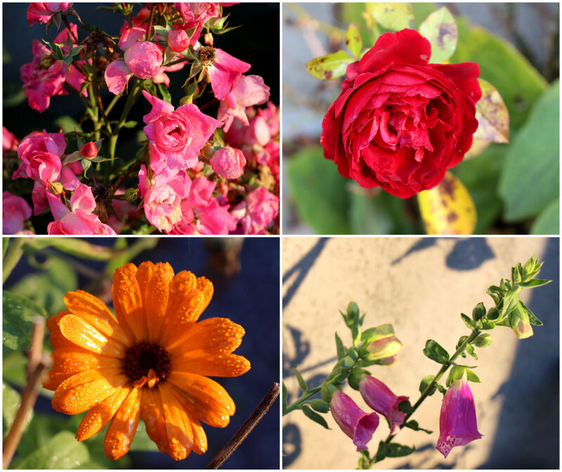 Även blommorna i rabatterna verkar nöjda. Till och med en digitalis blommar i novemberljuset och vintern känns långt bort.