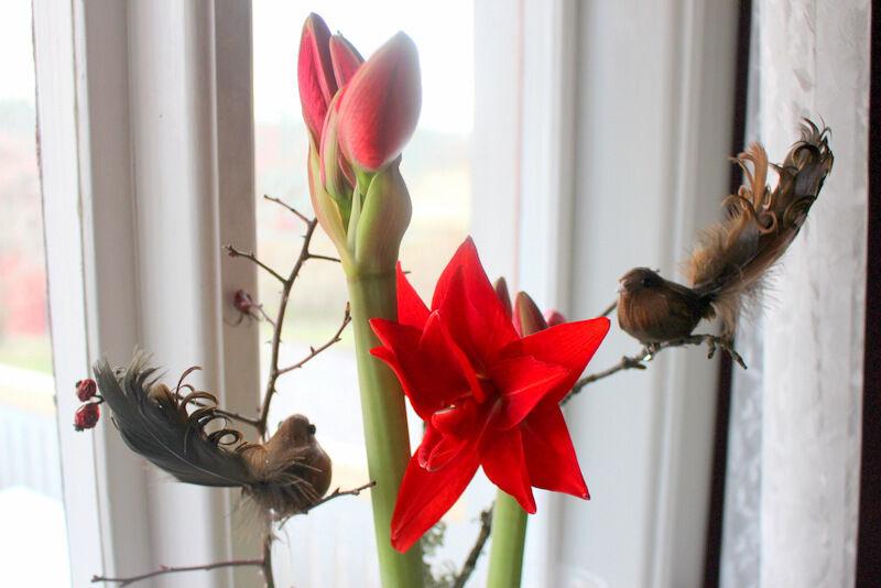 Amaryllisen har just lagom till julafton börjat slå ut. Löken sitter i en hög vas med mossa och har kvistar som stöd.  Julkramar från prästgården.