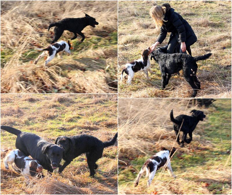 Även Abby kom förbi och det blev massor av lek. Abby är en snart ettårig valp från den senaste kullen.