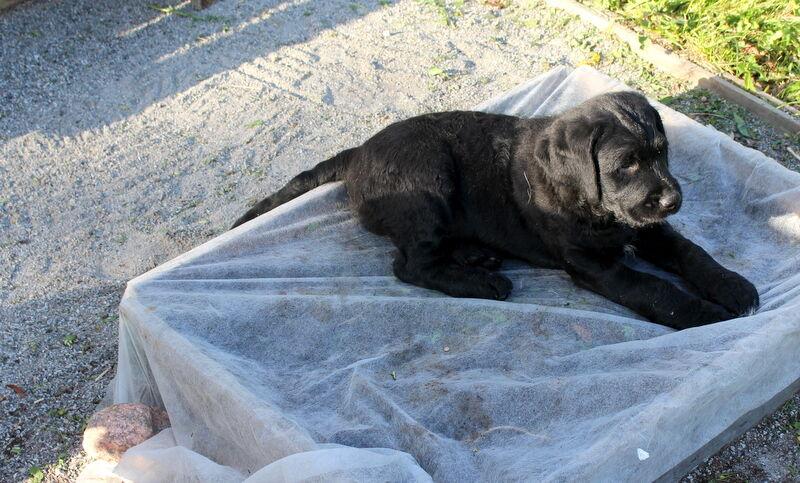 Baci blev kvar lite längre och fick hänga med mig trädgårdtäppan. Hans tilltänkta familj fick förhinder och jag fick lov hitta en ny.