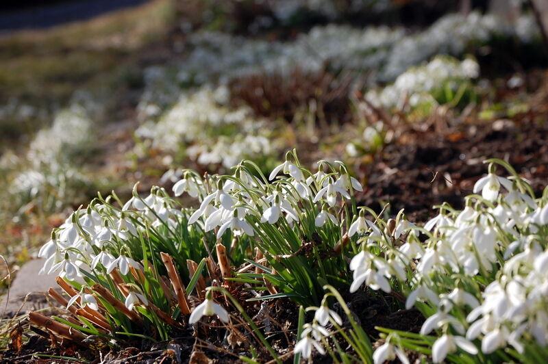 Här finns verkligen massor av snödroppar, både i rabbaterna och lite här och där i gräsmattor och bland buskar.