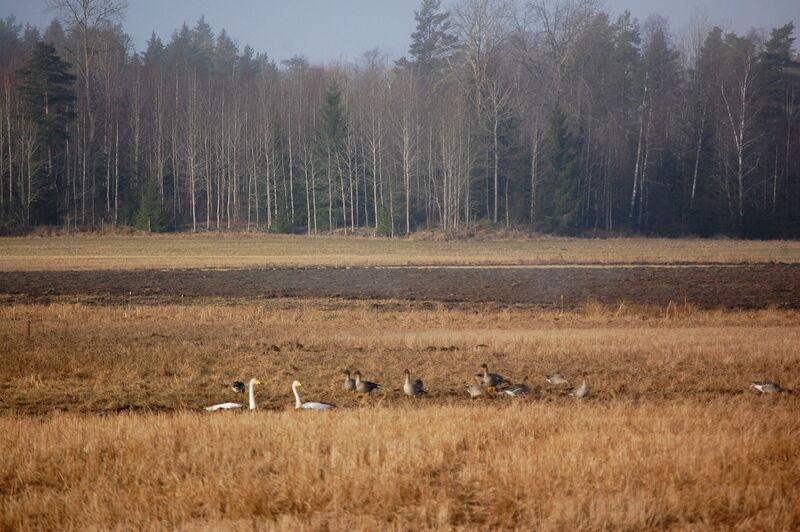 Tranorna skriar och svanar och grågäss har hittat en favoritplats ute på åkern.