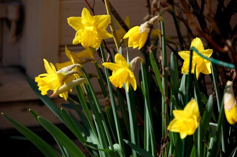 På prästgården har påskliljorna börjat slå ut.