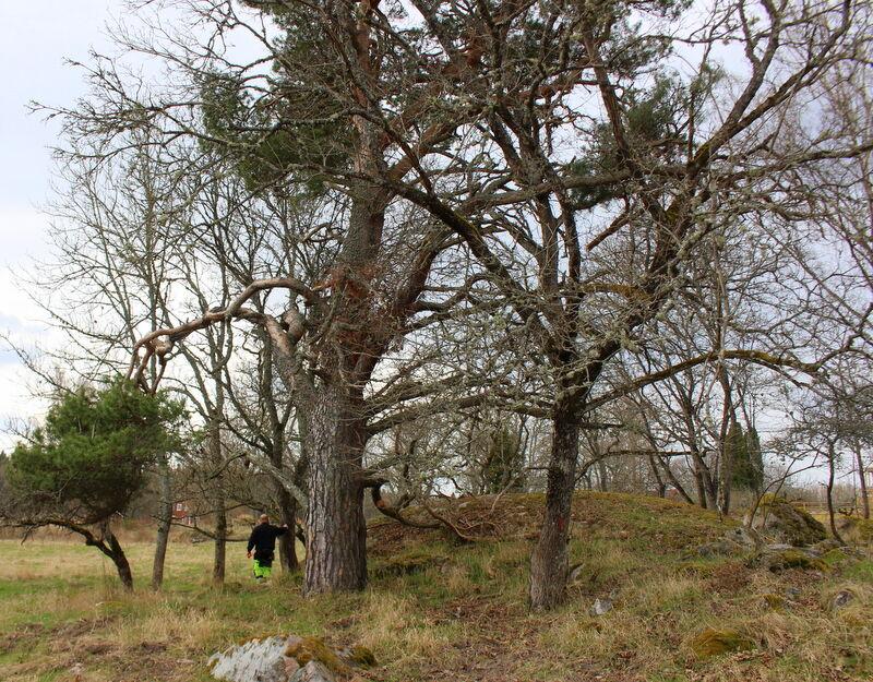 Bland annat ska en  gigantisk tall  få komma fram ur ett trassel av lövträd.