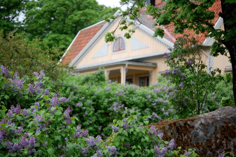 Prästgården har dryga hundra meter syrenhäck och en mängd stora buskar utöver det, så här doftar helt underbart.