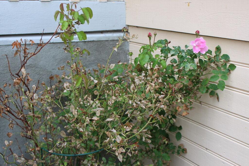 Mina stackars rosor har drabbats hårt av rost och jag har inte gjort något åt saken, förrän nu.