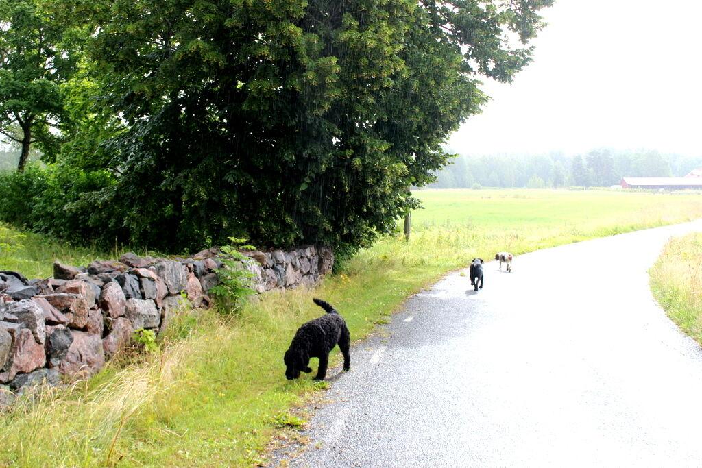 Mysig promenad i ljummet regn. Labradoodlen (och dottern) bessie med kompis Bombis har bott på prästgården i några dagar.
