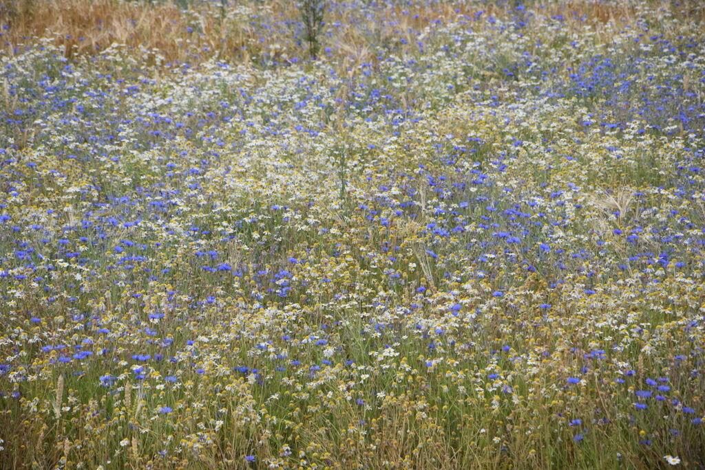 Timotej och blåklint. vackert med ogräs.
