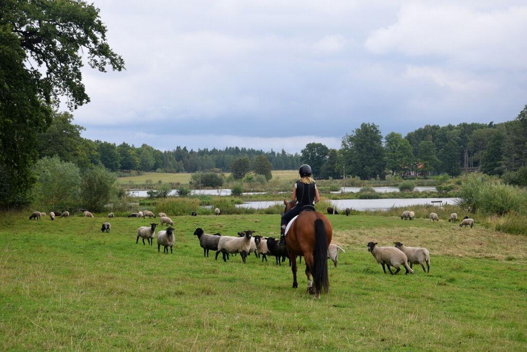 Mackan har inget problem med att gå genom fårhagar på Stora Sundby.