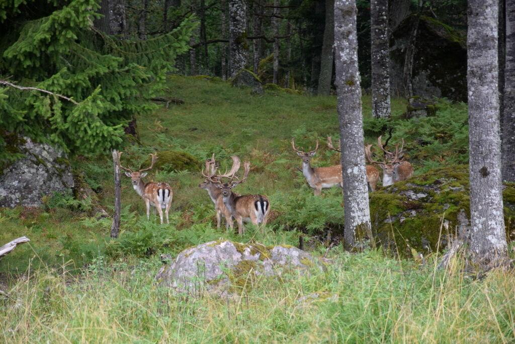 Men det gäller att vara med, för plötsligt sticker hjortarna upp huvudena i gräset.