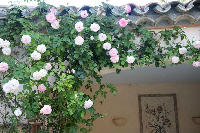 Ljuvliga rosor