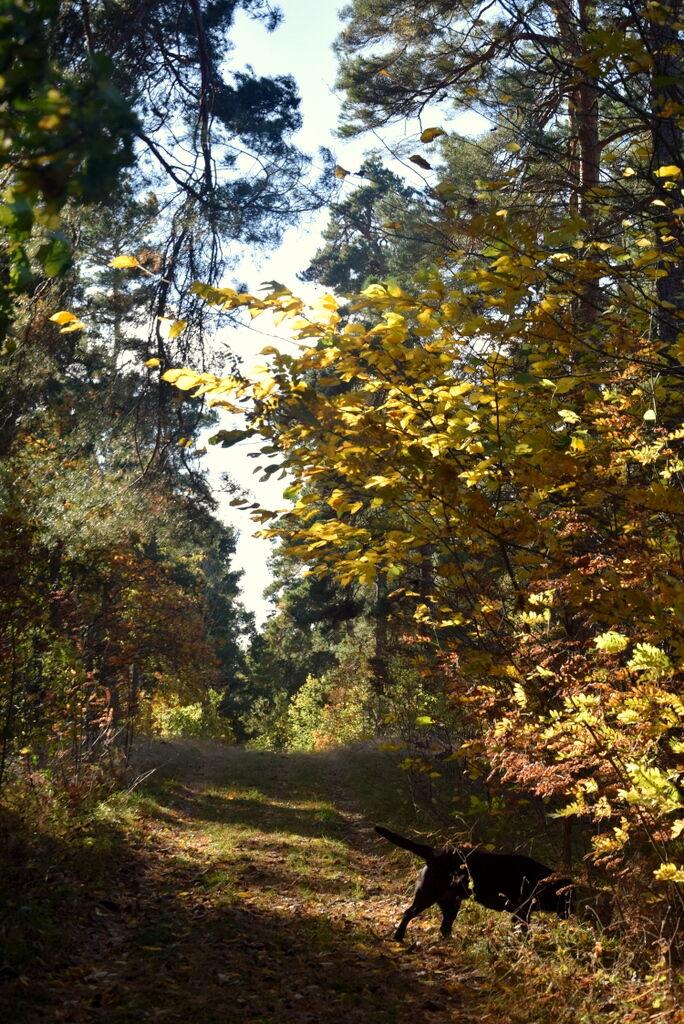 Jag passar på att gå en promenad vid stallet. Tosie älskar hösten.