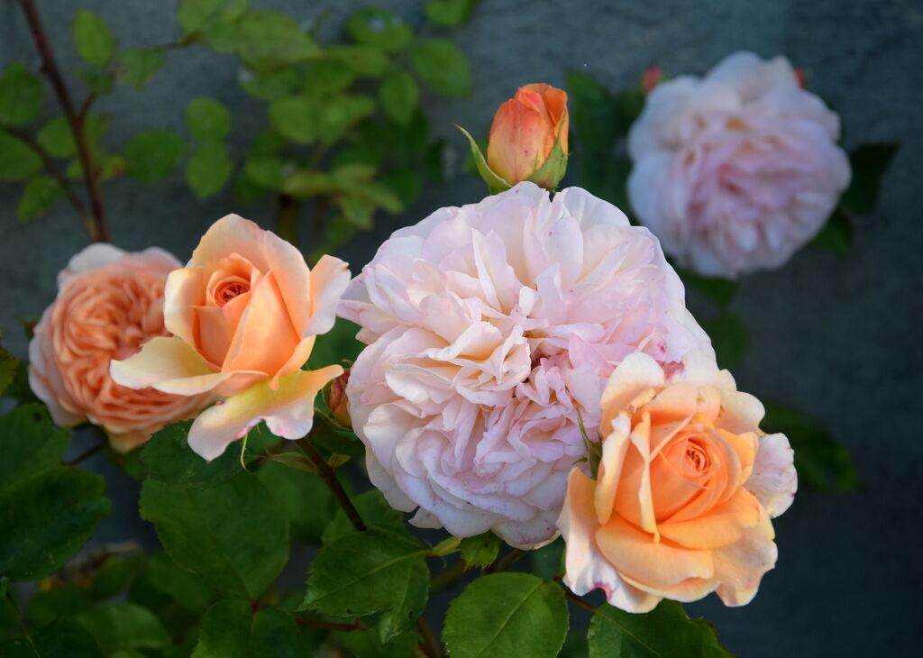Rosorna på prästgården har fått nya krafter och blommar för fullt.