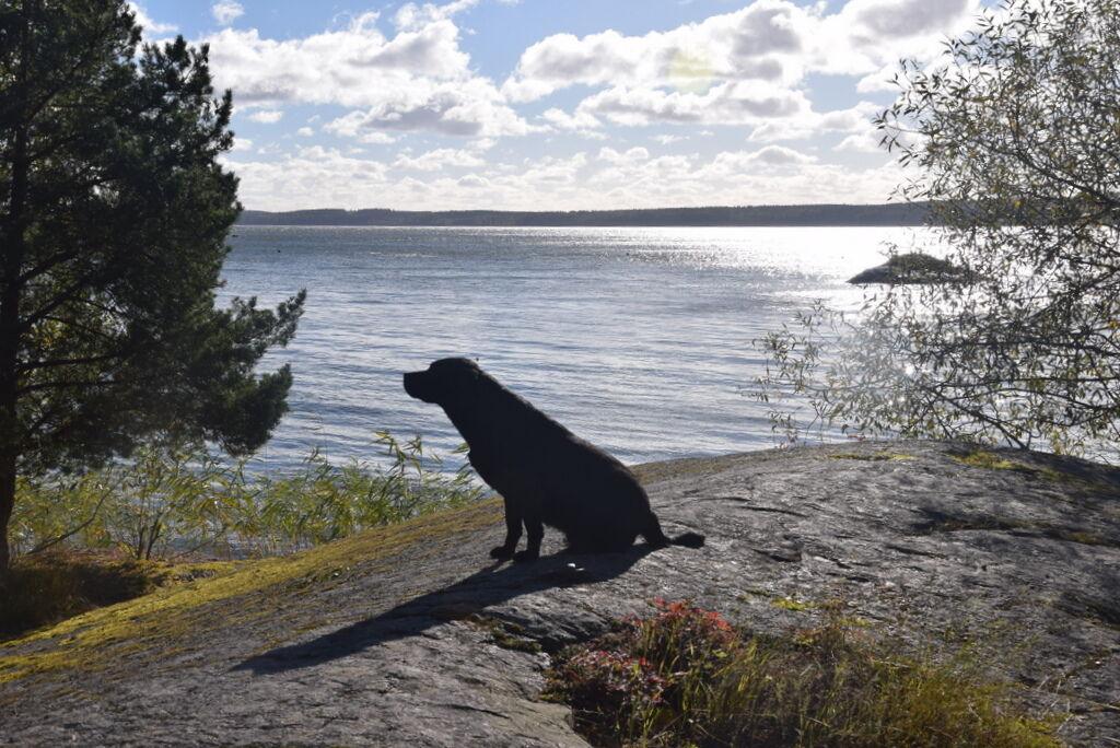 Den krispiga luften piggar upp den på sommaren lite lata lata labradoren.
