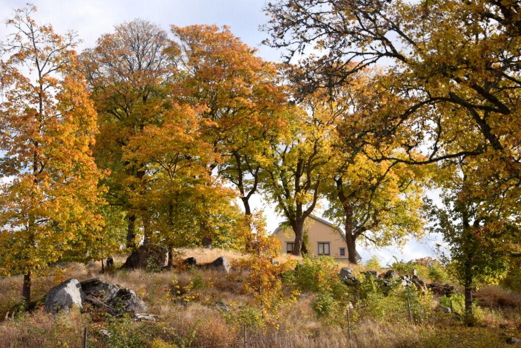 Hemma på prästgården har höstfärgerna snart nått sin peak.